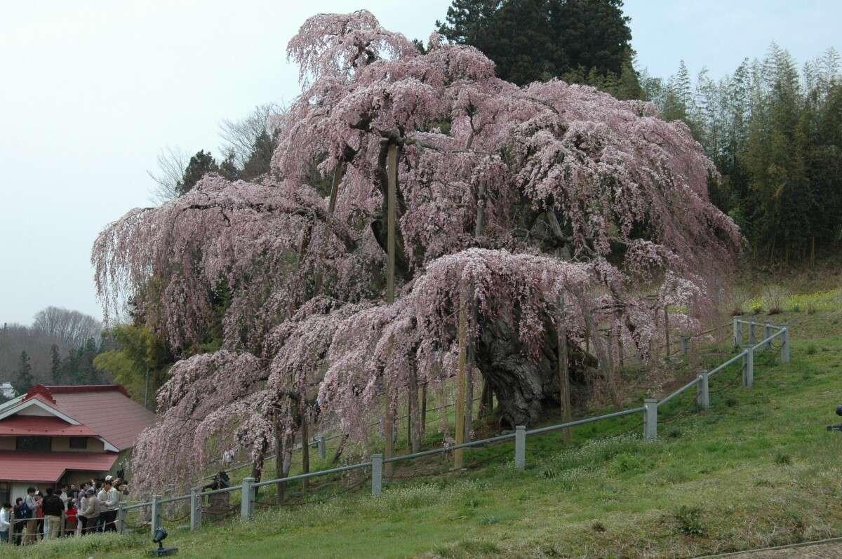 撮影者:gosikinumaさん (HP) 品種名:三春滝桜 撮影地:... 全国の桜