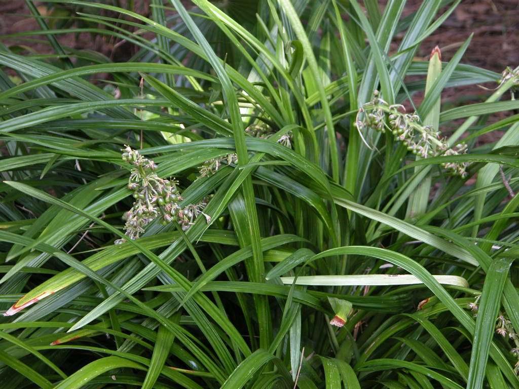 シラン (植物)の画像 p1_33